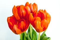 Bouquet of red tulip in a vase Royalty Free Stock Photography