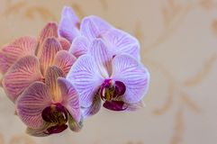 Close-up of of beautiful branch white orchids with purple stripes. Phalaenopsis, Moth Orchid are located on gentle worm bright br royalty free stock image