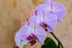 Close-up of of beautiful branch white orchids with purple stripes. Phalaenopsis, Moth Orchid are located on gentle worm bright bro stock photography