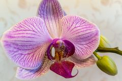 Close-up of of beautiful branch white with purple stripes orchid. Phalaenopsis, Moth Orchid located on warm bright brown blurry ba stock photo