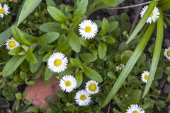 Close-up of beautiful bright fresh field daisies with tender white petals and yellow heart blooming between lavish green leaves an Royalty Free Stock Image