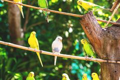 Close-up of beautiful bright parrots or melopsittacus undulatus perched on a wooden branch stock photo