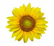 Closeup of a sunflower in high resolution image stock photography