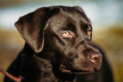 Close-up of Beautiful Brown Dog Head, Snout Of Lab Royalty Free Stock Image