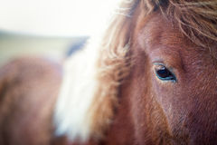 Close-Up from a Beautiful Brown Horse Stock Photo