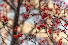 Close up red berries of Sorbus on tree branches. Close-up beautiful bunches of red Sorbus berries on branches outdoors royalty free stock photography