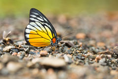 Close-up of beautiful butterfly resting on the ground Royalty Free Stock Photo