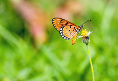 Close up beautiful Butterfly (Tawny Coster, Acraea violae) and. White grass flower stock photo