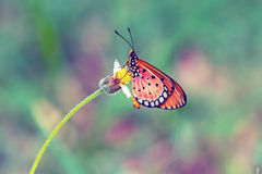 Close up beautiful Butterfly (Tawny Coster, Acraea violae) and. White grass flower royalty free stock images