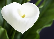 Close Up of a Beautiful Calla Lilies Flower with a Heart Shape and Leaves royalty free stock photo