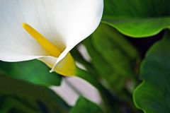 Calla lily. Close up of a beautiful calla lily blossom Royalty Free Stock Photo
