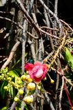 Cannonball Tree Flower and branch royalty free stock photos