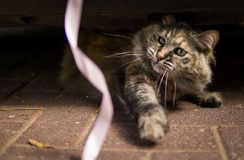 Close up of a beautiful cat playing with a ribbon royalty free stock photo