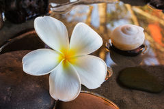 Close up beautiful charming fragrant white flower plumeria with Stock Image