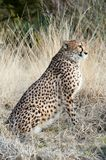 Close-up of a beautiful cheetah Royalty Free Stock Image
