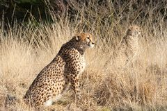 Close-up of a beautiful cheetah Stock Image