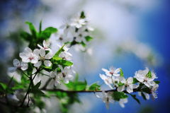 Close-up of beautiful Cherry blossoms. White cherry blossom in full bloom Royalty Free Stock Image