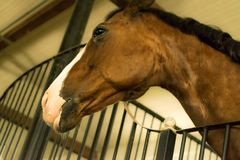Close up of a beautiful chestnut colored stallion horse in stable. With beautifull eyes royalty free stock photos
