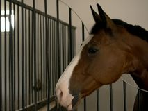 Close up of a beautiful chestnut colored stallion horse in stable. With beautifull eyes royalty free stock image