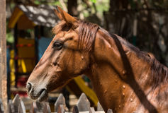 Close up of a beautiful chestnut horse stock photography