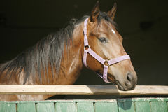 Close-up of a beautiful chestnut stallion Royalty Free Stock Photography