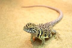 Beautiful collared lizard on sand. Close-up of a beautiful collared lizard on sand, animal portrait royalty free stock photos