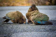Close up beautiful color feather ,plumage flock of kea birds wit Stock Photo