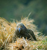 Close up beautiful color feather ,plumage of kea birds with blur Royalty Free Stock Images