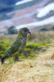 Close up beautiful color feather ,plumage of kea birds with blur Royalty Free Stock Photos