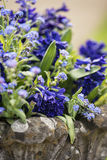 Close up of beautiful colorful bluebells and forget-me-not flowe. Close up of bluebells and forget-me-not flowers in flower pot Royalty Free Stock Image