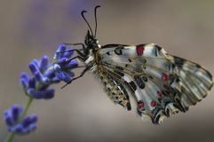 A Butterfly caught. A close-up of a beautiful and colorful butterfly resting on a lavender flower Stock Photo