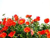 Colorful flower bush isolated white background. Close up of beautiful colorful flower bush isolated white background Stock Image