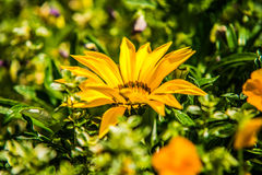 Close up beautiful colorful flower garden in spring Royalty Free Stock Photography