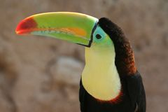 Colorful beak of a toucan. Close up of a beautiful and colorful Toucan beak with a sunset light Stock Images