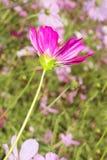 Close up beautiful cosmos flower. Garden Stock Photos
