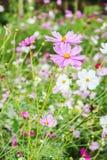 Close up beautiful cosmos flower. Garden Royalty Free Stock Photo