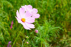 Close up of beautiful cosmos flowers blooming in green field Stock Image