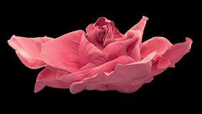 Opening of pink rose, blooming pink roses with alpha matte