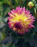 Close up of beautiful dahlia flower Royalty Free Stock Photo