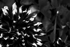 Close-up beautiful Dahlia rosea flower in night garden stock photography