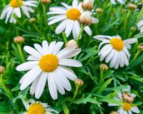 Beautiful daisy flowers with their white petals con the yellow eye at the garden on a green grass background. Close up of beautiful daisy flowers with their stock image