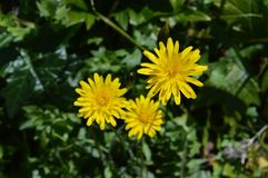 Close-up of Beautiful Dandelion Flowers, Nature, Macro. Natural Background stock image