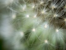 Blurred background. Extreme close up of a blowball royalty free stock images