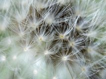 Blurred background extreme close up to a dandelion head stock photos