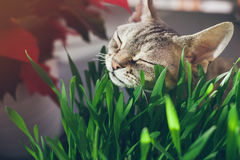 Close-up of a beautiful Devon Rex cat eating fresh green grass. Natural hairball treatment. Pet grass Royalty Free Stock Image