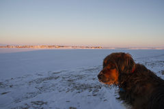 Close-up of beautiful dog staring away. With the community of Cambridge Bay, Nunavut in the background Stock Image