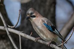 Close up of a beautiful Eurasian Jay with bright colorful feathers sitting on a tree. Portrait of standing Eurasian Jay - Garrulus glandarius. Bird in the crow stock photos