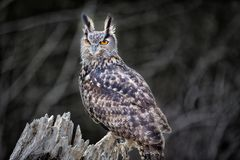 Beautiful Euro Asian Eagle owl Stock Photos