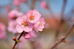 Close up of a beautiful european pink plum blossom flower on tree in early spring stock image