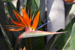 Close up of a beautiful exotic orange Strelitzia Reginae Bird of paradise flower in full bloom stock photo